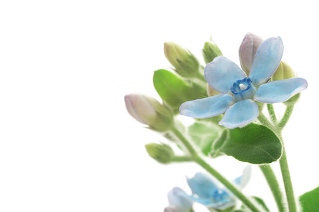 青い花ブルースター