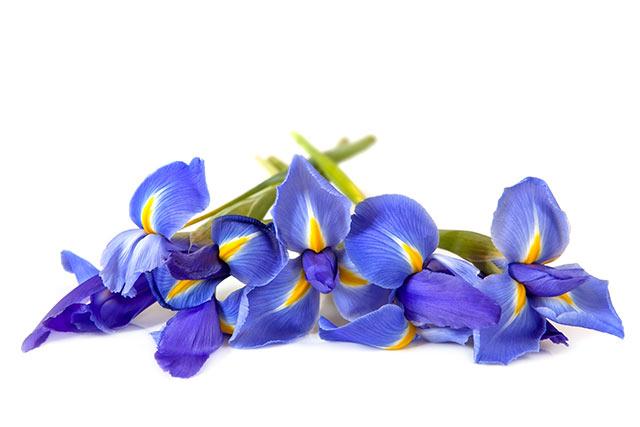 アイリスの花